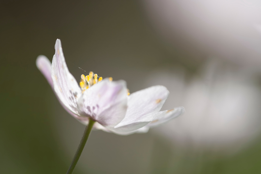 wood anemone in bloom with shades