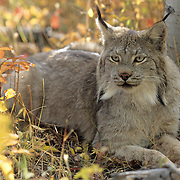 Canada Lynx (Lynx canadensis) portrait of an adult in the Rocky Mountains of Montana. Captive Animal