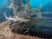 Sand tiger shark on USCGC Spar Shipwreck<br />  in North Carolina, USA