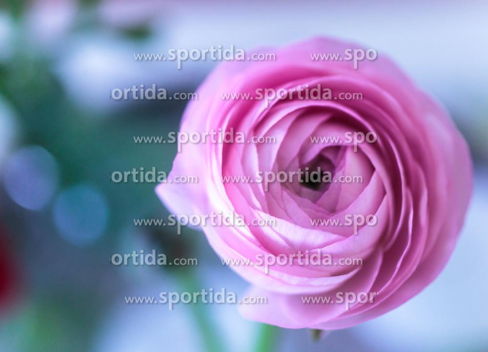 THEMENBILD - die Blüte einer rosa Ranunkel (Ranunculus asiaticus) aus der Gattung Hahnenfuß, aufgenommen am 22. Februar 2018, Ort, Österreich // the blossom of a pink ranunculus (Ranunculus asiaticus) on 2018/02/22, Ort, Austria. EXPA Pictures © 2018, PhotoCredit: EXPA/ Stefanie Oberhauser