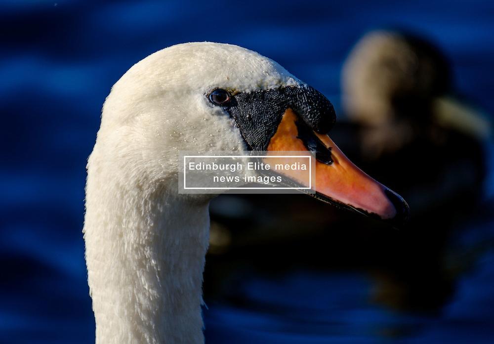 An adult swan at dusk<br /> <br /> (c) Andrew Wilson   Edinburgh Elite media
