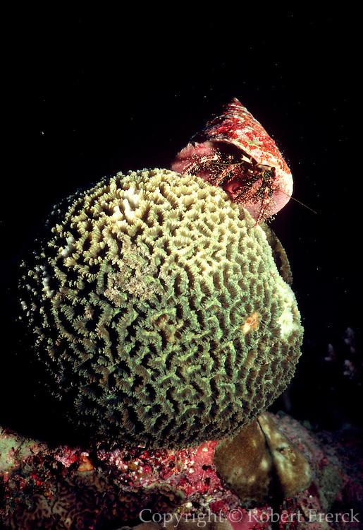 UNDERWATER MARINE LIFE WEST PACIFIC: Southwest CRABS: Hermit Crab, on Brain Coral Paguridae
