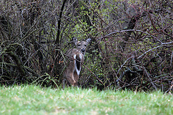 13 April 2009:A whitetail deer grazes on the fresh spring grass and leaves in the brush of Comlara Park which is located in Northern McLean County Illinois.  The day was dreary and over cast with high water levels and a mist. (Photo by Alan Look)
