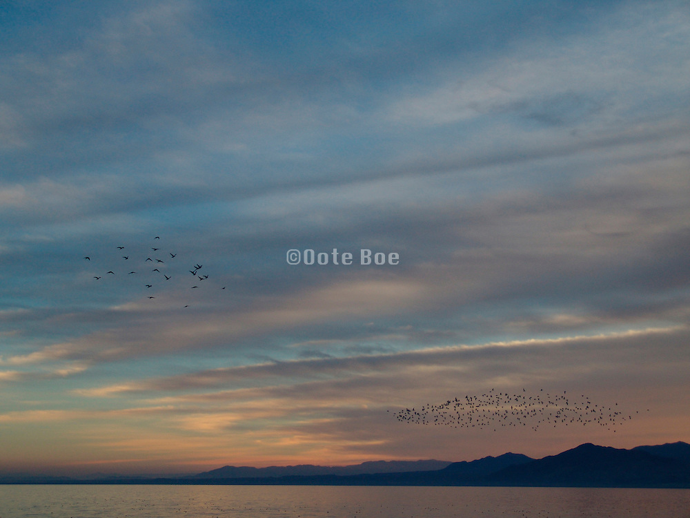 Flocks of birds flying in the evening sky. Salton Sea. USA.
