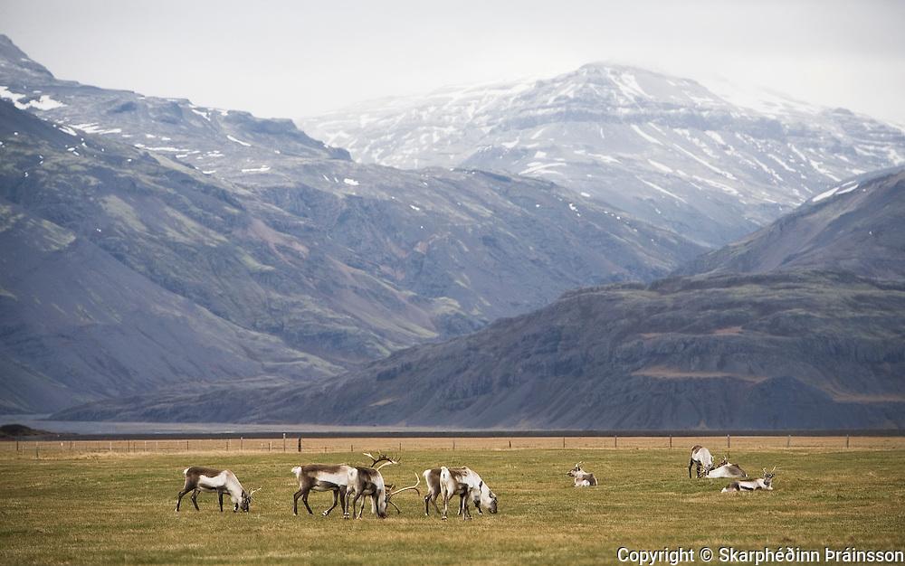 Reindeer in Hornafjörður, east Iceland