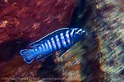 Pseudotropheus elongatus, a common mbuna found on rocky reefs around Likoma Island, Lake Malawi, Malawi, Africa.