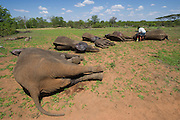 Tranquilized elephants<br /> & capture team<br /> (Loxodonta africana)<br /> Elephants darted from helicopter to be relocated.<br /> Zimbabwe