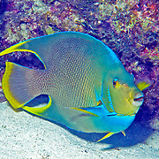 Blue Angelfish inhabit reefs and surrounding areas in Florida, Bahamas, northern Caribbean and Bermuda; picture taken Florida Keys.
