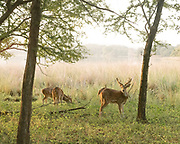 Ranthambore National Park, tiger reserve game drive. Deers in the morning light.