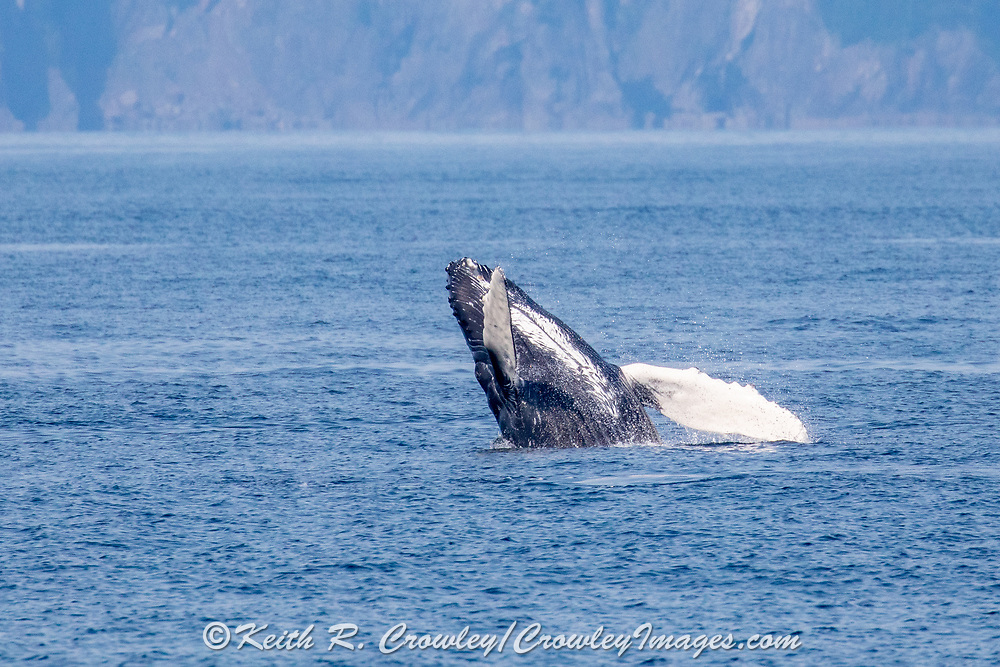 Humpback whale breaching in Kenai Fjords National Park, Alaska.