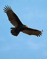 Turkey Vulture (Cathartes aura). Image taken with a Nikon D3 camera and 80-400 mm VRII lens.