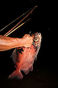 Pacu<br /> (Colossoma macropomum)<br /> Fished with bow and arow<br /> Rewa River<br /> Rainforest<br /> GUYANA. South America