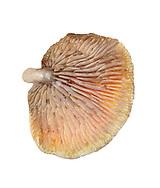 wood oysterling<br /> Melanotus horizontalis