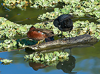 Cinnamon Teal (Anas cyanoptera) and Common Gallinule (Gallinula galeata)share a log on Lake Chapala, Jocotopec, Jalisco, Mexico