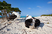 Laysan albatrosses, Phoebastria immutabilis, preening, Sand Island, Midway Atoll, Midway National Wildlife Refuge, Papahanaumokuakea Marine National Monument, Northwest Hawaiian Islands, USA ( North Pacific Ocean )