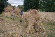 Local community volunteers help harvest the heritage wheat crop from the public Ruskin Park, on 8th August, 2016, in the south London borough of Lambeth, UK. The wheat has been growing in the parks long grass area, a corner where a variety of wheat such as Blue Cone Rivet, Rouge dEcosse and Old kent Red and others including from Ethiopia, have thrived. London heritage wheat specialist and baker Andy Forbes, will have his produce ground in the once-derelict windmill in Brixton, which, after Lottery funding, now serves the community as a working mill. Harvest helpers included passer-by Danielle Naki in yellow, who picked up a sickle and cut wheat as she once did as a child on her fathers farm in Ivory Coast.