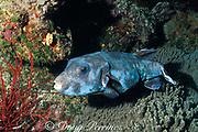 blue-spotted puffer fish, Arothron caeruleopunctatus<br /> Helen Reef Atoll, Southwest Islands, Palau, Micronesia ( Western Pacific Ocean )