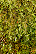 Douglas' Neckera; Arching Out; Wavy, silvery, dull - Irregularly sparsely branched with some long branches, Yellow0green to whitish-green