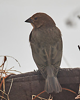 Brown-headed Cowbird (Molothrus ater). Image taken with a Nikon D5 camera and 600 mm f/4 VR lens