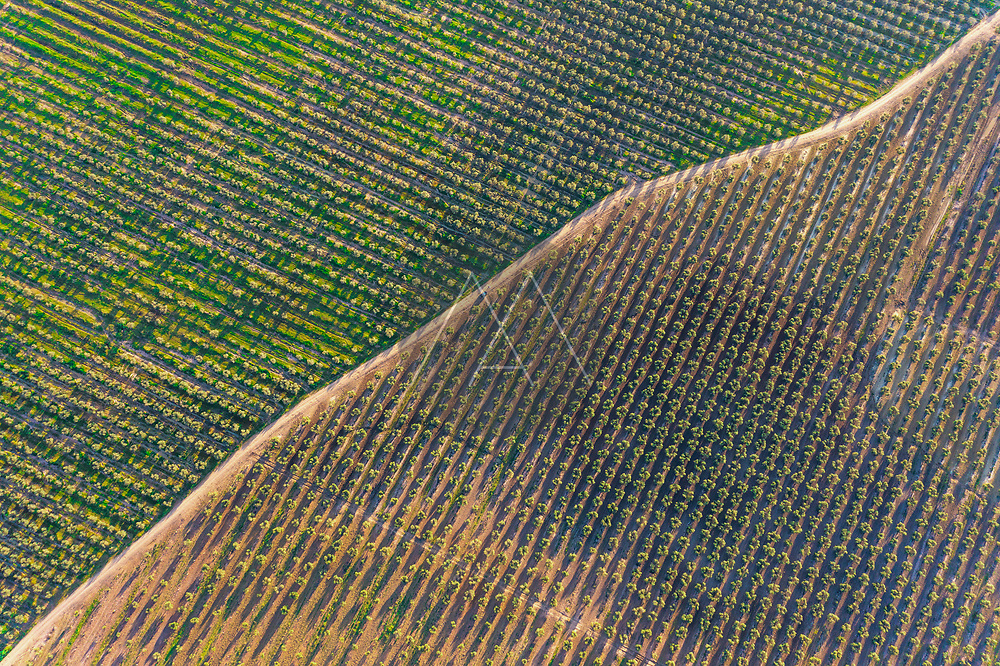 Aerial view of the farming lands full of olive trees and a road going through the middle in Andalusia, province of Sevilla, Spain.