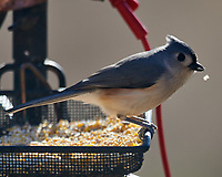 Tufted Titmouse. Image taken with a Nikon D850 camera and 600 mm f/4 VR lens.