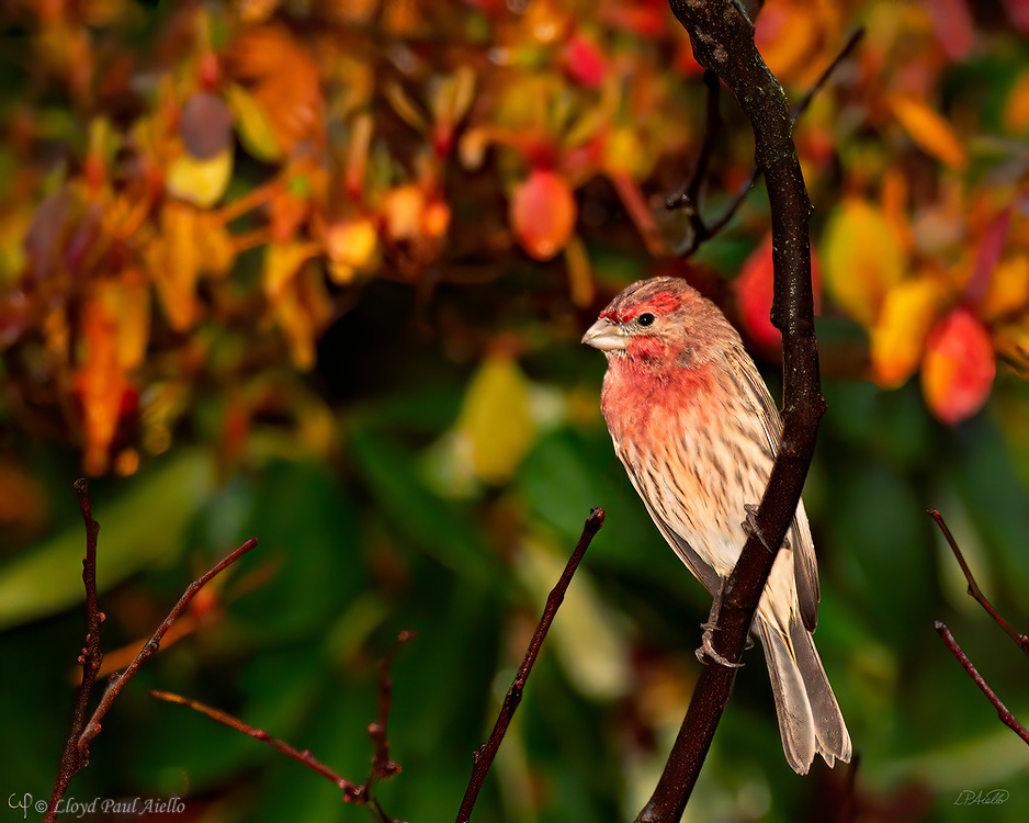 """A House Finch (Haemorhous mexicanus) perches in front of an azalea that has changed color in the fall.  These finches are 5-6 inches long with a 8-10 inch wingspan and a weight of 0.6-1.0 ounces.  Male coloration varies in intensity with the seasons and is derived from the berries and fruits in the bird's diet. Originally only a resident of Mexico and the southwestern United States, they were introduced to eastern North America in the 1940s. The birds were sold illegally in New York City as """"Hollywood Finches"""".  To avoid prosecution under the Migratory Bird Treaty Act of 1918, vendors and owners released the birds. House Finches have become naturalized across the Eastern U.S., where now there are an estimated 267 million to 1.7 billion individuals in North America."""