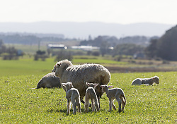 Triplet lambs near Bracknell in northern Tasmania.