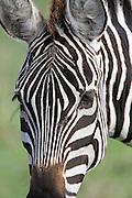 Close-up of Zebra in East Africa
