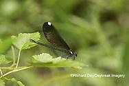 06014-00318 Ebony Jewelwing (Calopteryx maculata) female Washington Co. MO