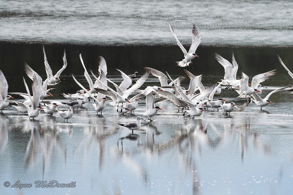 Flock of Caspian Tern taking off over reflecting water
