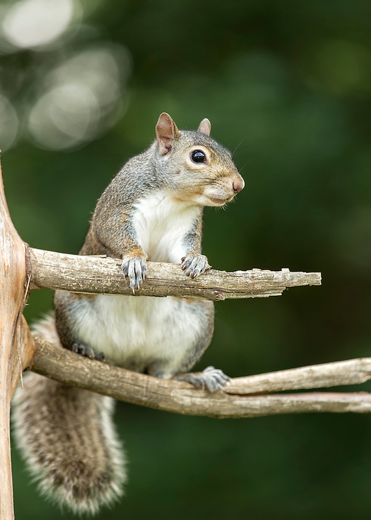 A common grey squirrel climbing a tree