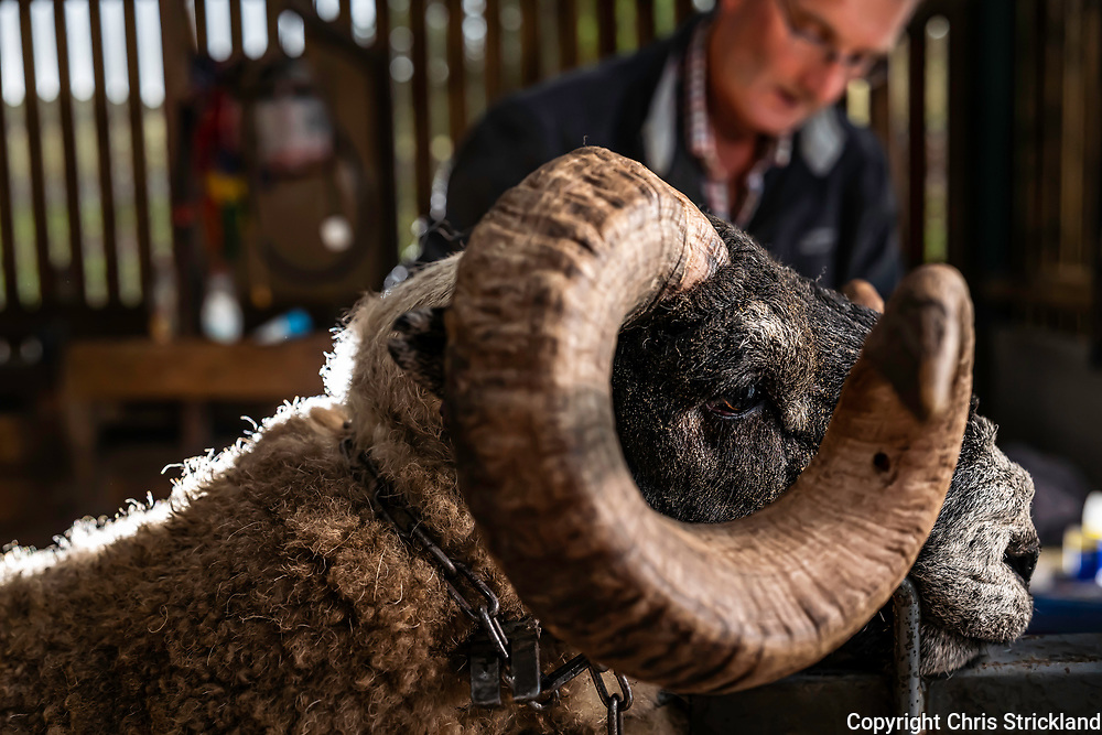 Hownam, Kelso, Scottish Borders, Scotland, UK. 1st October 2021. Hill farmer Derek Redpath, who farms the Yett Valley in the Cheviot Hills, dresses his Black Face Rams prior to major sales at Stirling and Lanark marts this month. Black Face sheep are a hardy hill breed and are the backbone of the Scottish sheep industry. Credit: Chris Strickland / Telegraph