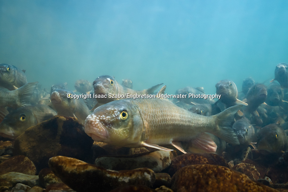 Golden Redhorse<br /> <br /> Isaac Szabo/Engbretson Underwater Photography
