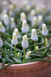 Pots of Muscari armeniacum 'Siberian Tiger' - Grape hyacinth