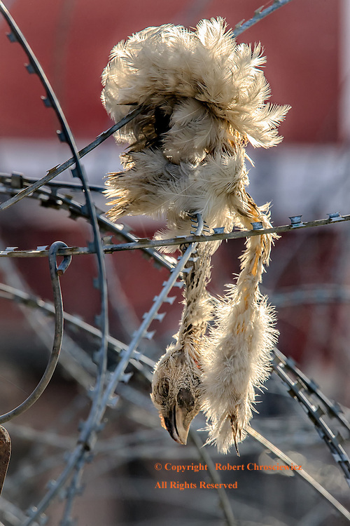 Sign of the Times: This photo readily serves as an allegory for the youth within the present political in Kashmir;  As razor wire has entangled and killed this young bird, Srinagar India.