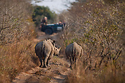 "Viewing 2 white rhinos from a safari land cruiser in the Phinda Game Reserve.<br /> <br /> Phinda Private Game Reserve encompasses an impressive 23 000 hectares (56 800 acres) of prime conservation land wilderness in KwaZulu-Natal, South Africa. Showcasing one of the continent's finest game viewing experiences. Phinda is described as ""Seven Worlds of Wonder"", with its seven distinct habitats - a magnificent tapestry of woodland, grassland, wetland and forest, interspersed with mountain ranges, river courses, marshes and pans. Phinda is a wilderness sanctuary where intimate encounters, adventure and rare discoveries can be experienced firsthand."