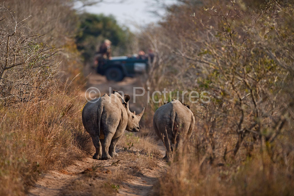 """Viewing 2 white rhinos from a safari land cruiser in the Phinda Game Reserve.<br /> <br /> Phinda Private Game Reserve encompasses an impressive 23 000 hectares (56 800 acres) of prime conservation land wilderness in KwaZulu-Natal, South Africa. Showcasing one of the continent's finest game viewing experiences. Phinda is described as """"Seven Worlds of Wonder"""", with its seven distinct habitats - a magnificent tapestry of woodland, grassland, wetland and forest, interspersed with mountain ranges, river courses, marshes and pans. Phinda is a wilderness sanctuary where intimate encounters, adventure and rare discoveries can be experienced firsthand."""