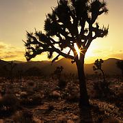 A Joshua tree greets another brilliant sunrise in the Mojave Desert. Joshua Tree National Park, CA..
