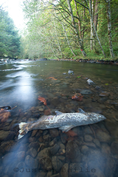 Coho salmon carcass in small coastal Oregon River. Salmon feed entire ecosystems when they return to their natal rivers. From animals to humans to insects to streamside vegetation.
