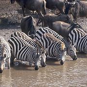 Burchell's Zebra, (Equus burchelli) Drinking at waterhole. Kenya. Africa.