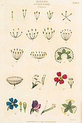 """Hand drawn Botanical images depicting the Linnean Classification system [Carl Linnaeus (23 May 1707 – 10 January 1778), also known after his ennoblement as Carl von Linné was a Swedish botanist, zoologist, taxonomist, and physician who formalised binomial nomenclature, the modern system of naming organisms. He is known as the """"father of modern taxonomy"""". Many of his writings were in Latin, and his name is rendered in Latin as Carolus Linnæus (after 1761 Carolus a Linné). Published by T. Tegg in London in 1826"""