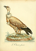 "The Cape vulture or Cape griffon (Gyps coprotheres), also known as ""Kolbe's vulture"", is an Old World vulture in the family Accipitridae. It is endemic to southern Africa, and is found mainly in South Africa, Lesotho, Botswana, and in some parts of northern Namibia. It nests on cliffs and lays one egg per year. Since 2015, it has been classified as Endangered. Bird of Prey from the Book Histoire naturelle des oiseaux d'Afrique [Natural History of birds of Africa] by Le Vaillant, François, 1753-1824; Publish in Paris by Chez J.J. Fuchs, libraire .1799"