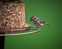 Chipping Sparrow at the patio birdfeeder. Image taken with a Nikon D4 camera and 600 mm f/4 VR lens