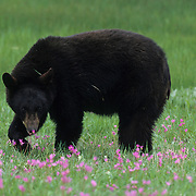Black Bear in a field of Shooting Star flowers during the spring in Montana. Captive Animal