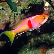 Redbar Anthias inhabit reefs. Picture taken Andaman Sea.