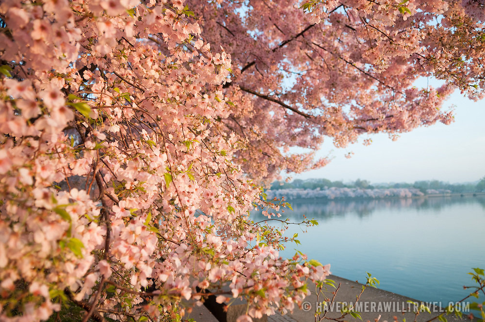 The very early morning light catches the pink cherry blossom lining the Tidal Basin. The Yoshino Cherry Blossom trees lining the Tidal Basin in Washington DC bloom each early spring. Some of the original trees from the original planting 100 years ago (in 2012) are still alive and flowering. Because of heatwave conditions extending across much of the North American continent and an unusually warm winter in the Washington DC region, the 2012 peak bloom came earlier than usual.