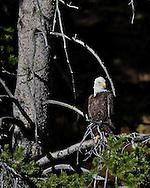Bald Eagle, Yellowstone National Park