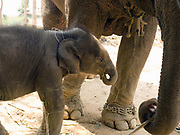 Mae Khram Di, a female Asian elephant and her baby Noy An during their baci ceremony at the Elephant Conservation Center (ECC) in Sayaboury province, Lao PDR. The ECC launched in association with the NGO ElefantAsia offers an innovative experience to visitors that combines conservation of the endangered Asian elephant with eco-tourism. Laos was once known as the land of a million elephants but now there are fewer than 900 living in the country. Around 470 of them are in captivity, traditionally employed by a lucrative logging industry. But captive elephants are often overworked and exhausted and as a consequence no longer breed. With only two elephants born for every ten that die, the Asian elephant, the sacred national emblem of Laos, is under serious threat of extinction. At the Elephant Conservation Center in Sayaboury province, the elephant nursery is an innovative reproduction project led by Lao mahouts and the Center. It relies on voluntary participation and aims to support mahouts involved in logging to bear the cost of breeding their elephant.