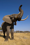 African Elephant (Loxodonta africana) Domesticated orphaned elephants from culls. Now living with Doug and Sandi Groves of Grey Matters Foundation.<br /> Moremi Game Reserve, Okavango Delta<br /> BOTSWANA<br /> IUCN STATUS: Vulnerable