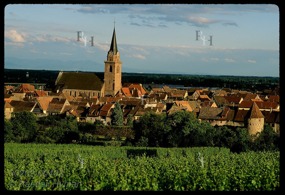 Church tower punctuates view of town surrounded by vineyards near sunset; Bergheim, Alsace. France